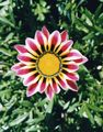 Buy online burgundy Treasure Flower / Gazania Photo