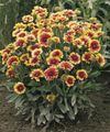 Buy online burgundy Blanket Flower / Gaillardia Photo