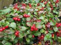 white Garden Flowers Gaultheria, Checkerberry Photo
