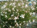 Photo Gaura description