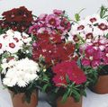 Buy online burgundy Garden Flowers Dianthus, China Pinks / Dianthus chinensis Photo