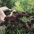black Garden Flowers Sweet William / Dianthus barbatus Photo