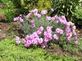 Photo Dianthus perrenial description