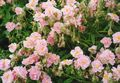 Photo Rock rose description