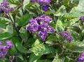 Buy online purple Garden Flowers Heliotrope, Cherry pie plant / Heliotropium Photo