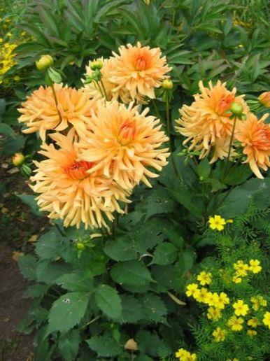 kaufen online orange gartenblumen dahlie dahlia foto. Black Bedroom Furniture Sets. Home Design Ideas