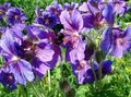 Buy online purple Garden Flowers Hardy geranium, Wild Geranium Photo