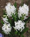 Buy online white Garden Flowers Dutch Hyacinth / Hyacinthus Photo