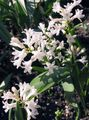 Buy online white Garden Flowers Hyacinthella pallasiana Photo
