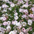 Photo Gypsophila description