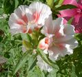 Buy online white Atlasflower, Farewell-to-Spring, Godetia Photo