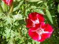 Buy online red Atlasflower, Farewell-to-Spring, Godetia Photo