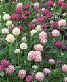 Photo Globe Amaranth description