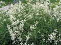 Buy online white Giant Fleeceflower, White Fleece Flower, White Dragon / Polygonum alpinum, Persicaria polymorpha Photo
