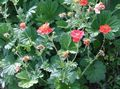Buy online red Garden Flowers Avens, Geum Photo