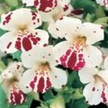 Buy online white Monkey Flower / Mimulus Photo