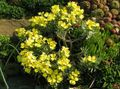 Buy online yellow Garden Flowers Degenia Photo
