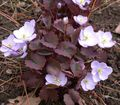 Buy online lilac Garden Flowers Twinleaf / Jeffersonia dubia Photo