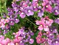 Buy online lilac Garden Flowers Diascia, Twinspur Photo