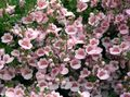 Buy online pink Garden Flowers Diascia, Twinspur Photo