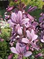 Buy online lilac Garden Flowers Gas Plant, Burning Bush / Dictamnus Photo