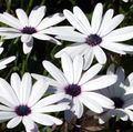white Garden Flowers Cape Marigold, African Daisy / Dimorphotheca Photo