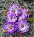 Photo Livingstone Daisy description