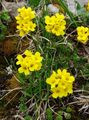Buy online yellow Garden Flowers Draba Photo