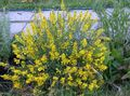 Spanish gorse, Spanish Broom