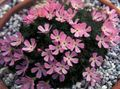 pink Garden Flowers Douglasia, Rocky Mountain Dwarf-Primrose, Vitaliana Photo