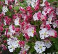 pink Garden Flowers Zaluzianskya, Night Phlox Photo
