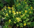yellow Garden Flowers Hypericum olimpicum Photo
