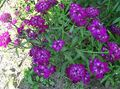 Buy online purple Garden Flowers Candytuft / Iberis Photo