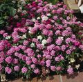 Buy online pink Garden Flowers Candytuft / Iberis Photo
