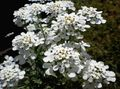 Buy online white Garden Flowers Candytuft / Iberis Photo