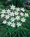 Buy online white Spring Starflower / Ipheion Photo