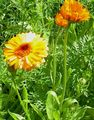 Photo Pot Marigold description