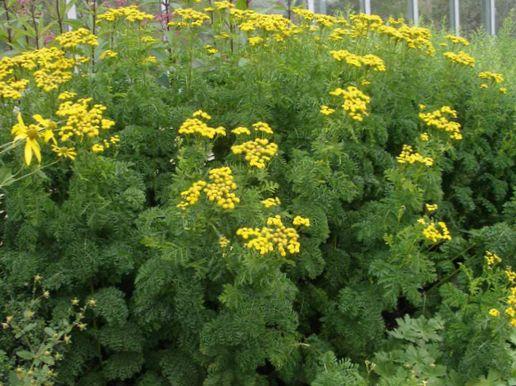 Acquistare en l nea giallo i fiori da giardino tansy arricciato tanaceto riccio doppio - Riccio in giardino ...