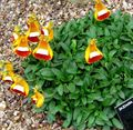 orange Lady's Slipper, Slipper Flower, Slipperwort, Pocketbook Plant, Pouch Flower / Calceolaria Photo