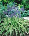 blue Garden Flowers Camassia Photo