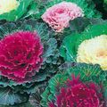 Buy online red Flowering Cabbage, Ornamental Kale, Collard, Curly kale / Brassica oleracea Photo