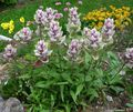 Buy online lilac Garden Flowers Indian Paintbrush / Castilleja Photo