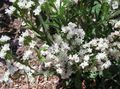 Buy online white Garden Flowers Carolina Sea Lavender / Limonium Photo