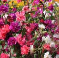 red Clarkia, Garland Flower, Mountain Garland Photo