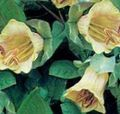 Buy online yellow Garden Flowers Cathedral Bells, Cup and saucer plant, Cup and saucer vine / Cobaea scandens Photo