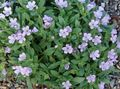 lilac Garden Flowers Collomia Photo