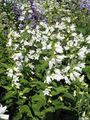 Buy online white Campanula, Bellflower Photo
