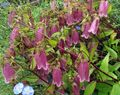 burgundy Campanula, Bellflower Photo