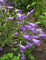 purple Campanula, Bellflower Photo