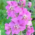 Photo Ornamental Mullein, Verbascum description